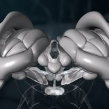 3D-Animation   Gehirn, Diencephalon