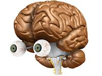 VR-Gehirn | Optisches System