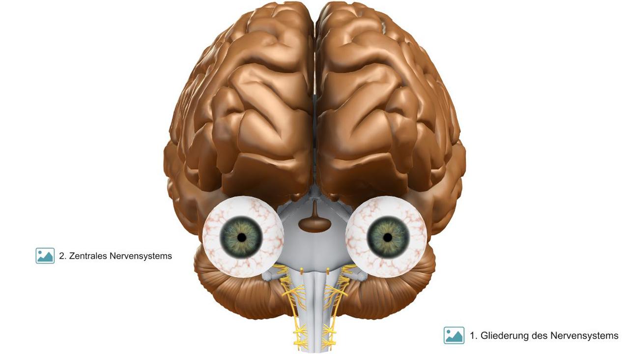 VR-Gehirn   Frontalansicht